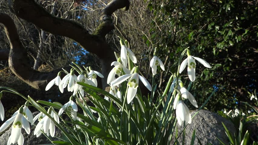Snowdrops in Mountain Forest Grass - Spring Flowers - 04 - Close - Loop