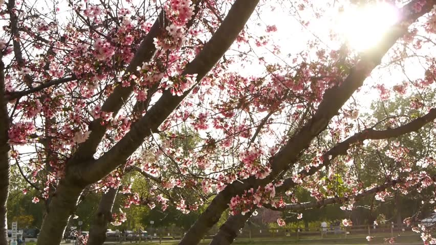 Cherry Blossom Trees -Pan Right-