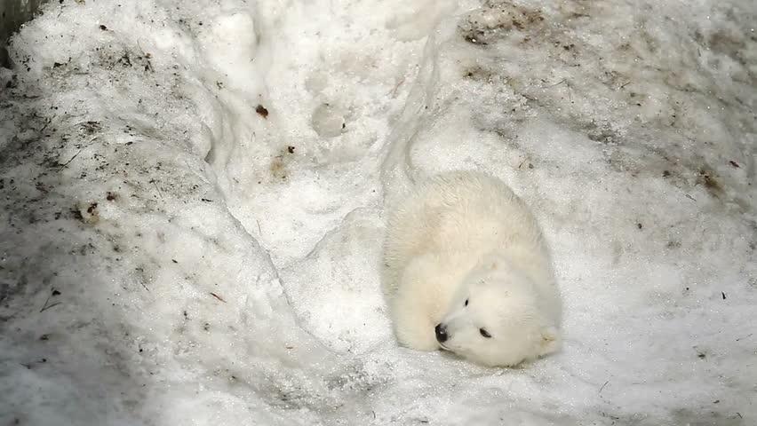 Polar Bear Baby was tired and fell asleep in the snow