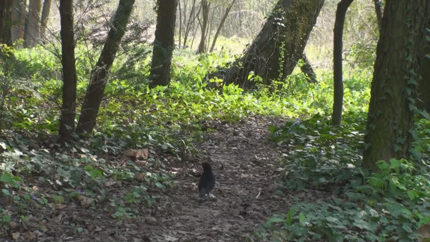 A Trail In The Woods With A Crow Pecking For Food, Nature, Green, Hiking Pan