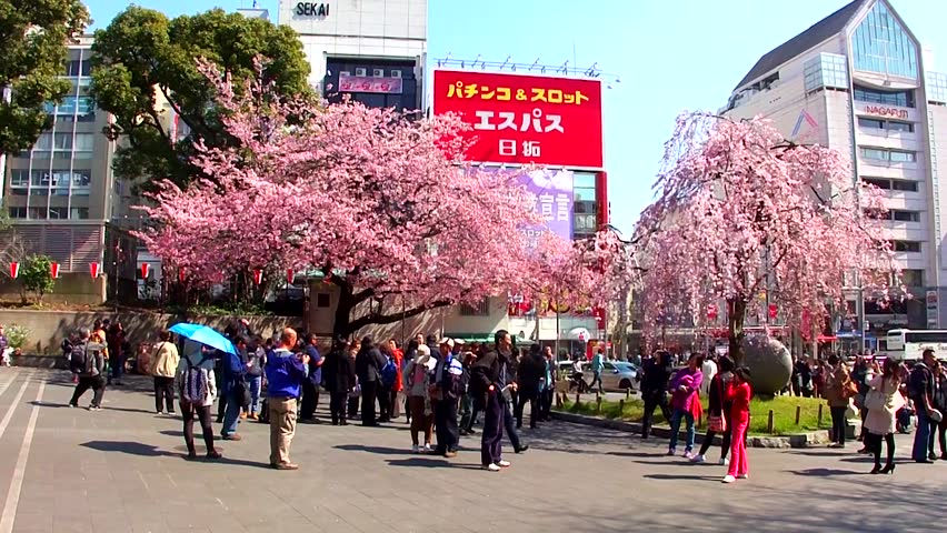 TOKYO, JAPAN - MARCH 24: Cherry blossom festival in Ueno Park on March 24, 2014 in Tokyo, Japan. Viewing cherry blossom is a Japanese custom. Ueno Park was Japan's first public park, opened in 1873. - HD stock footage clip