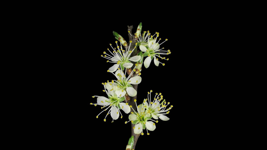 Time-lapse of blooming plum tree branch 9x4 in DCI-4K PNG+ format with alpha transparency channel isolated on black background.