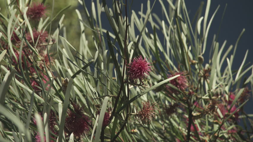 Close up of spiky red flowers blossoming in tall grass for Spiky ornamental grasses