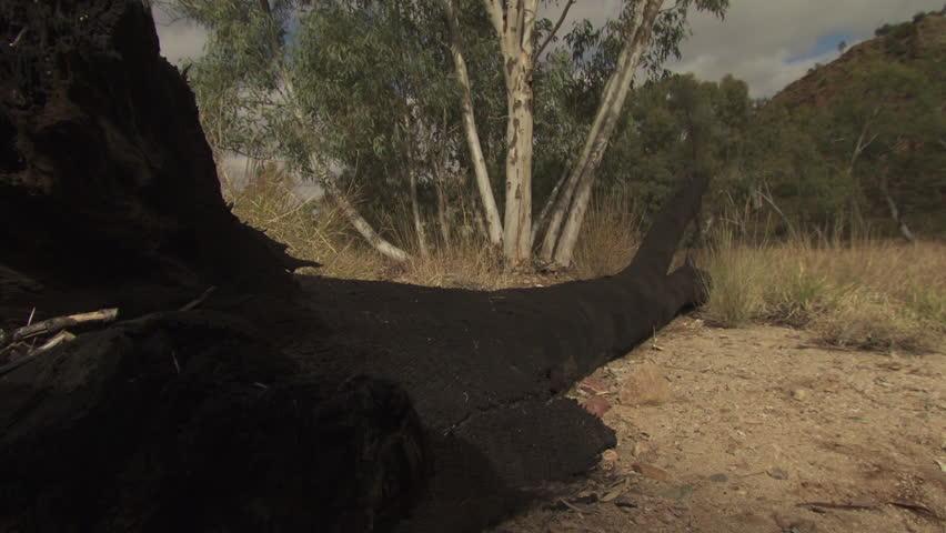 Hiker walking over a fallen tree in a dry field