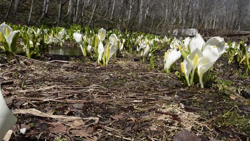 Flowers of skunk cabbage - HD stock footage clip