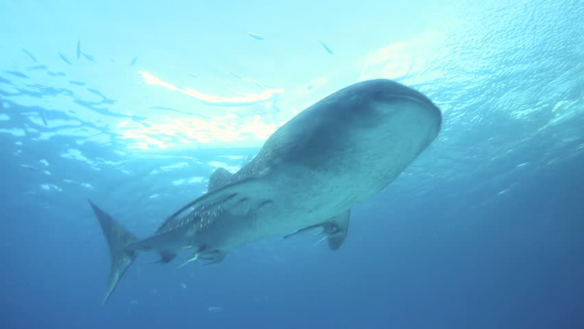 Whale shark swimming underwater in Oslob, Philippines