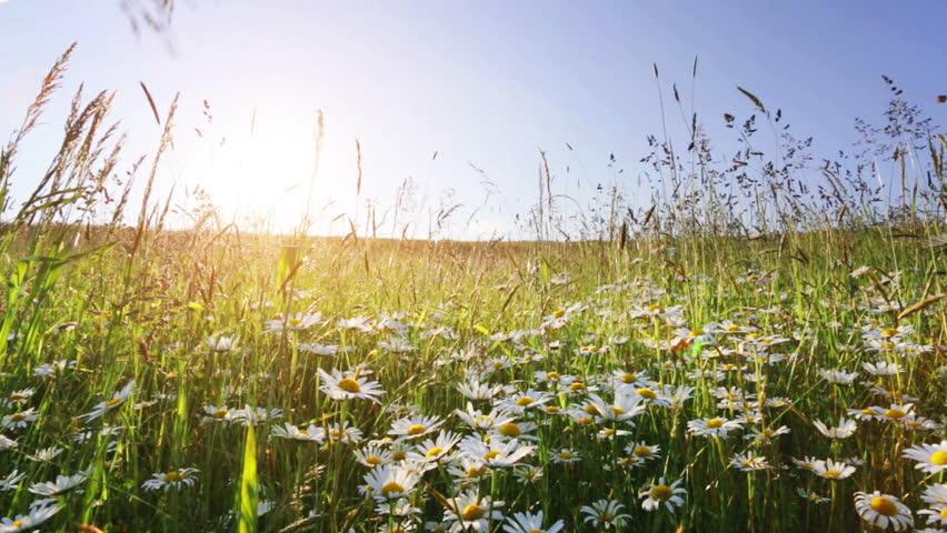 daisy field mountain sky - photo #8