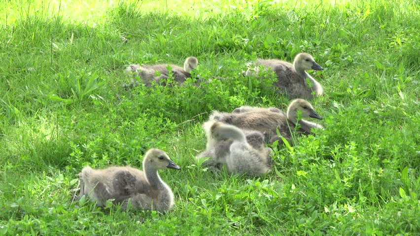 Reproduction of the geese during Spring. Geese and its goslings in a fresh green grass field. Beautiful and migratory birds reproducing in the wilderness. Natural process of reproduction of species.