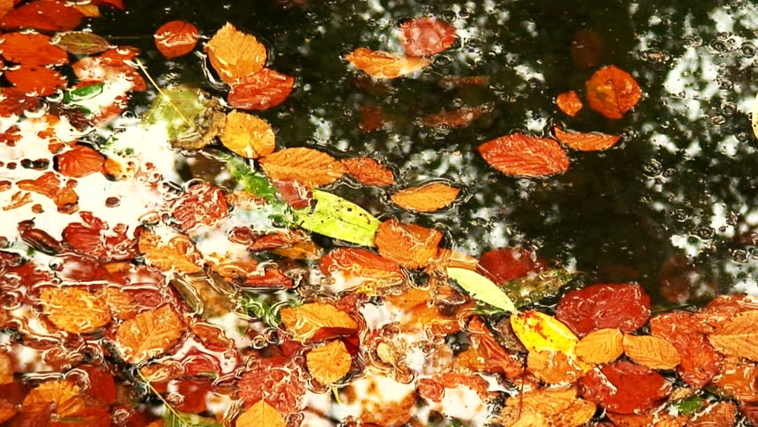 Raindrops Falling Onto Colorful Autumn Leaves In A Pond ...