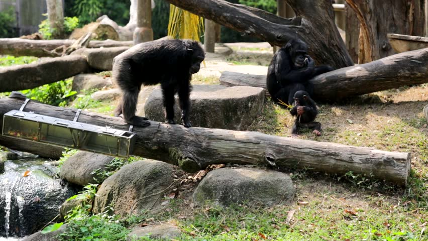SINGAPORE - CIRCA FEB 2014: Chimpanzee Family in Singapore Zoo. The zoo was built at a cost of S$9m granted by the government of Singapore and opened on 27 June 1973.