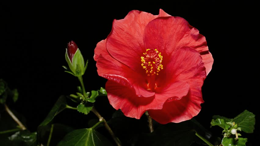 4k.Red Hibiscus Flower Blooming opening
