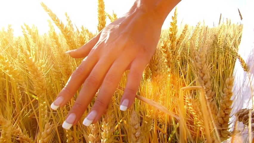 Female hand touching a golden wheat ear in the wheat field, sunset light, flare light.Unrecognizable person, slow motion, high speed camera
