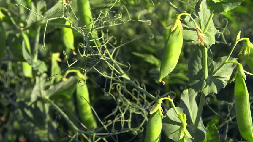 Green peas growing on the farm close-up tracking shot - HD stock footage clip
