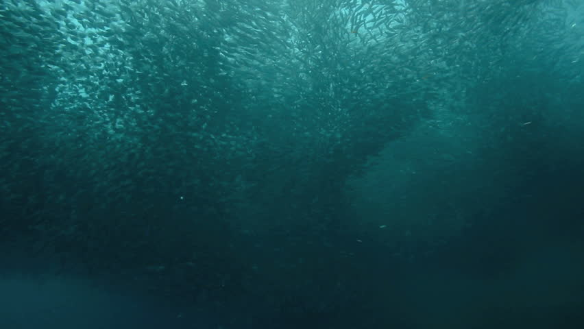 Enormous shoal of sardines swimming in ocean at Moalboal, Philippines