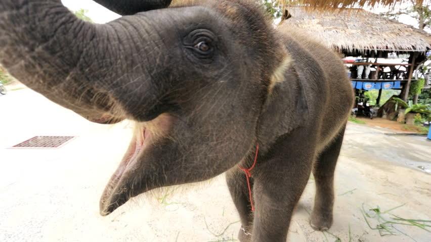 Close up baby Asian Elephant eating playful mood Phuket, Thailand, Asia