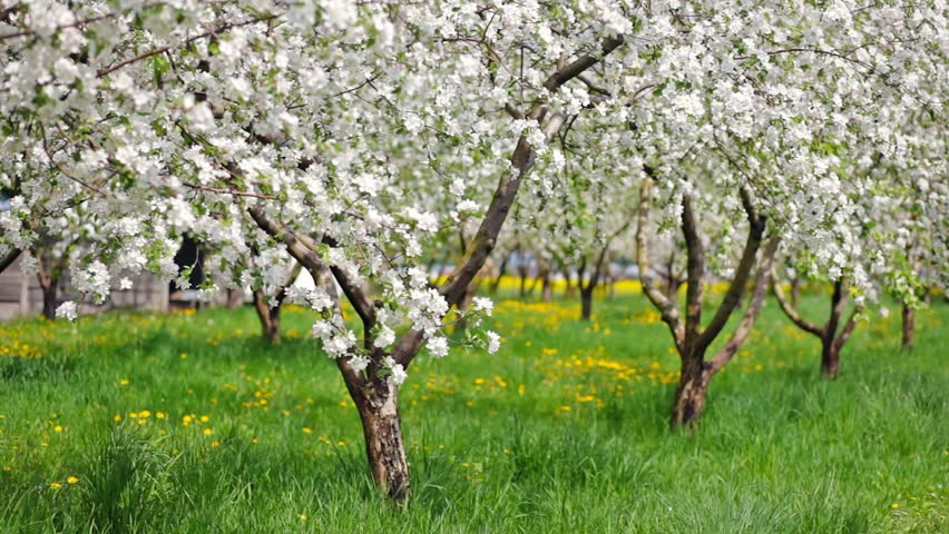 Blossoming tree with white flowers in spring. HD video (High Definition)