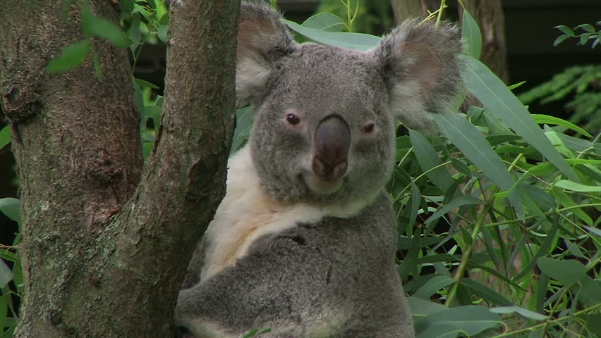 Adult koala bear turning head and looking around while perched on tree.