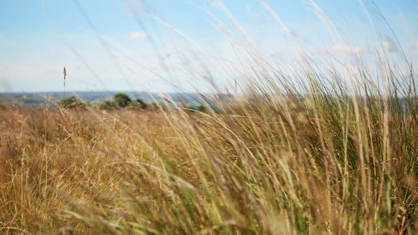 Close up grass HD stock footage. Wild close up grass blowing in the wind in a rural Countryside, filmed on the Blackmagic Cinema Camera.