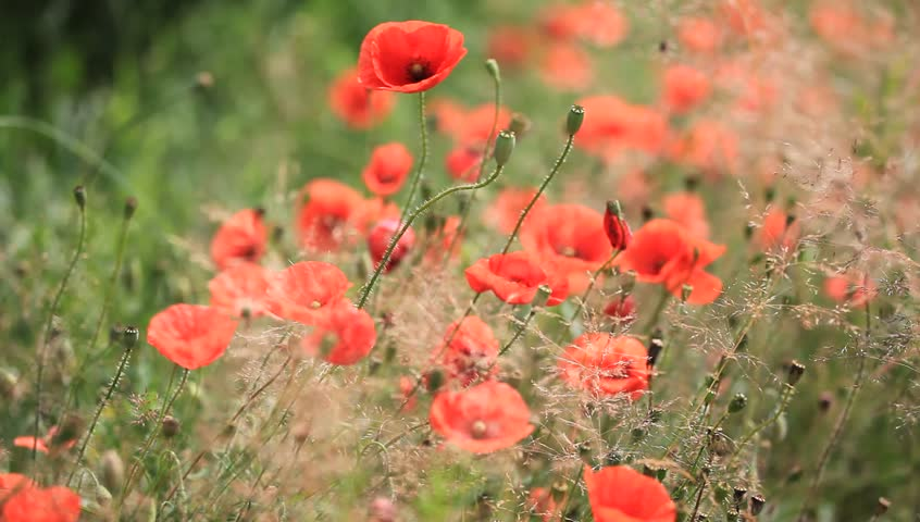 wild poppy flowers on - photo #18