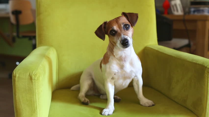 Cute dog sitting in a green cozy armchair. Shakes his head speaks, listens carefully curiously. Video footage