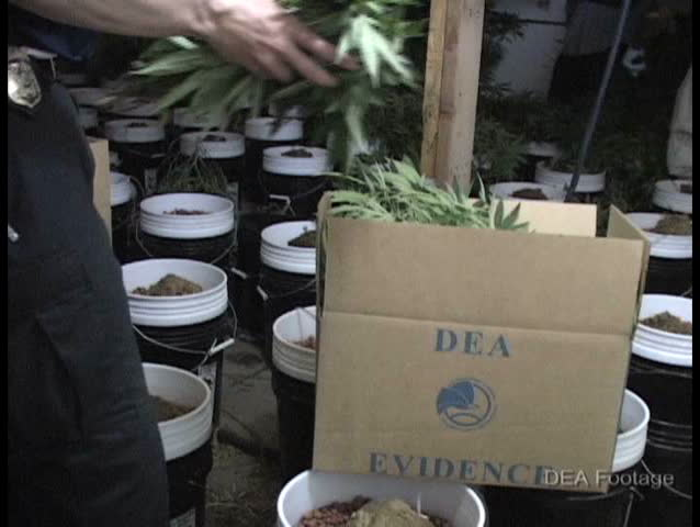 CIRCA 2010s - DEA agents confiscate marijuana plants from a home during a raid.