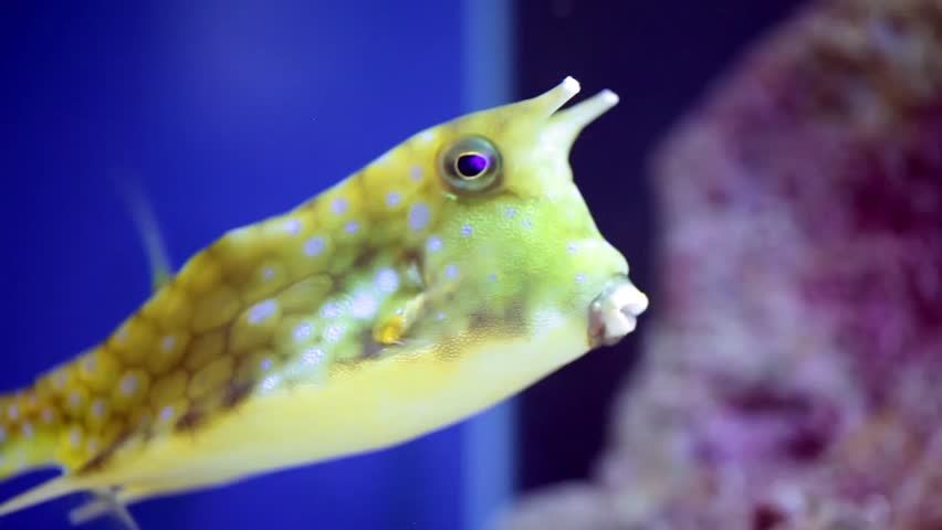 Reef fish: longhorn cowfish (Lactoria Cornuta), variety of boxfish from the family Ostraciidae, recognizable by its long horns that protrude from the front of its head.