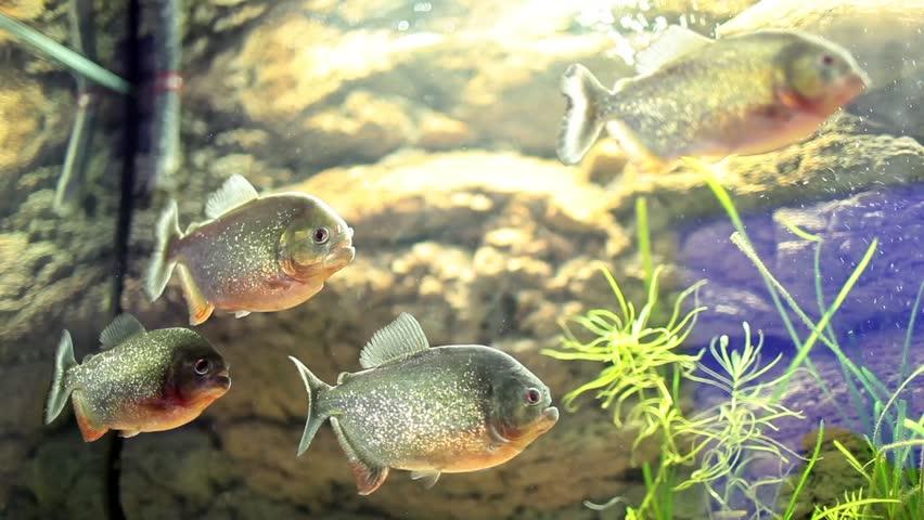 Video clip of tank with piranha fish.