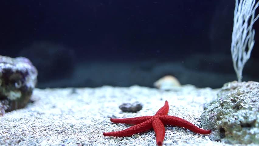 Video clip of red sea star (Fromia milleporella) in a fish tank.