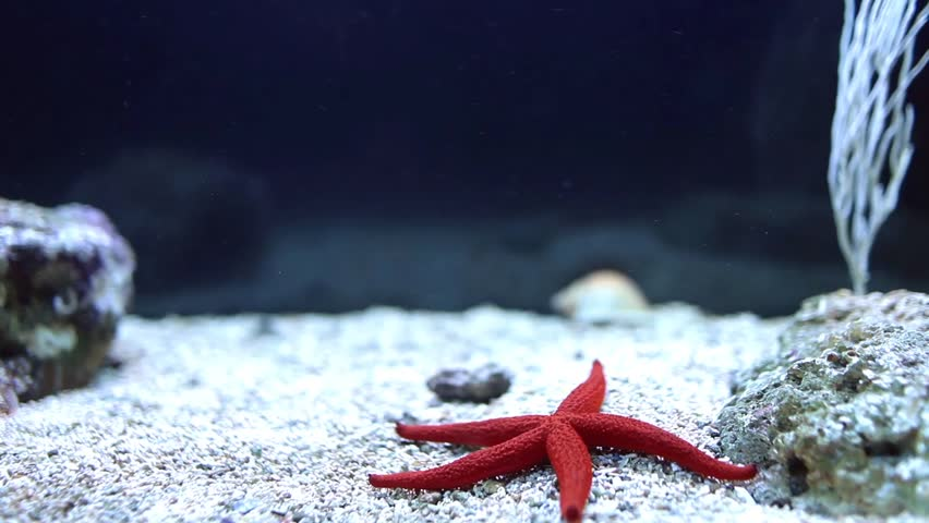 Video clip of red sea star (Fromia milleporella) in a fish tank.