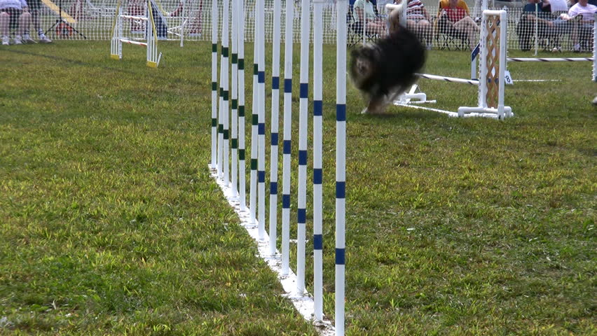 HD a dog shows his agility during a competition - HD stock video clip