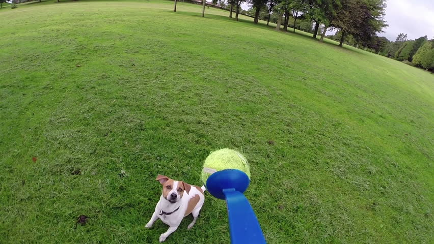 Jack Russell Terrier jumping for tennis ball - slow motion of dog playing - HD stock footage clip
