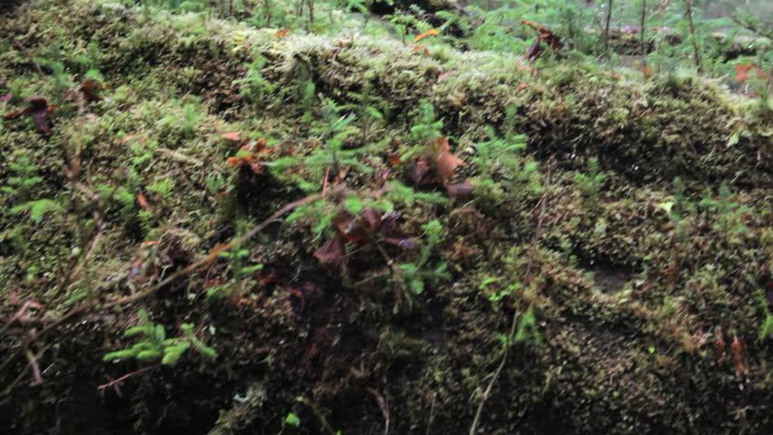 Close up of young saplings on a nurse tree, Hoh Rain Forest,  Washington, jib