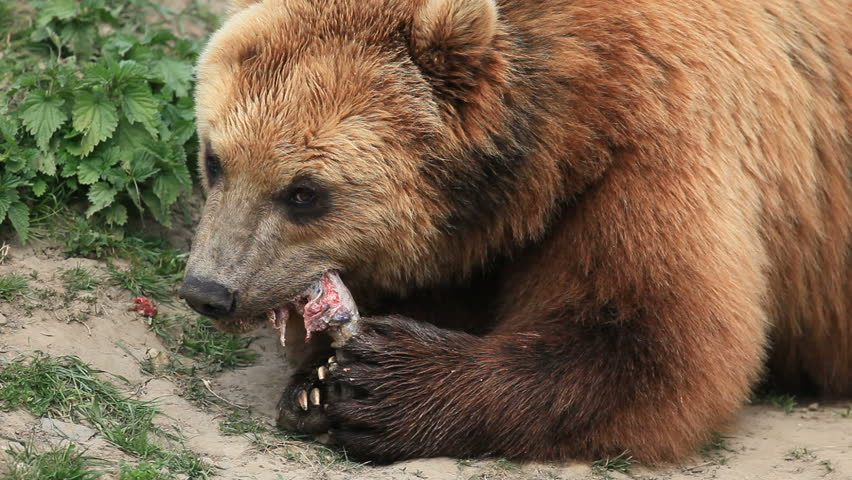 brown bear - HD stock footage clip