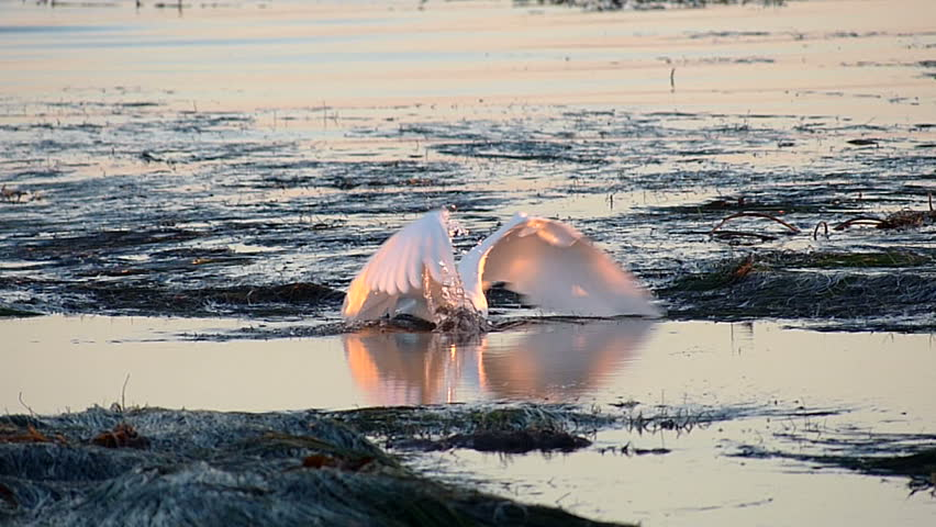 White Egret bird hunting for fish in the tide pools on the central coast of California.