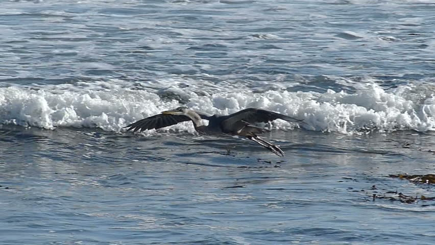 Great Blue Heron flying and landing in slow motion on the central coast of California, USA.