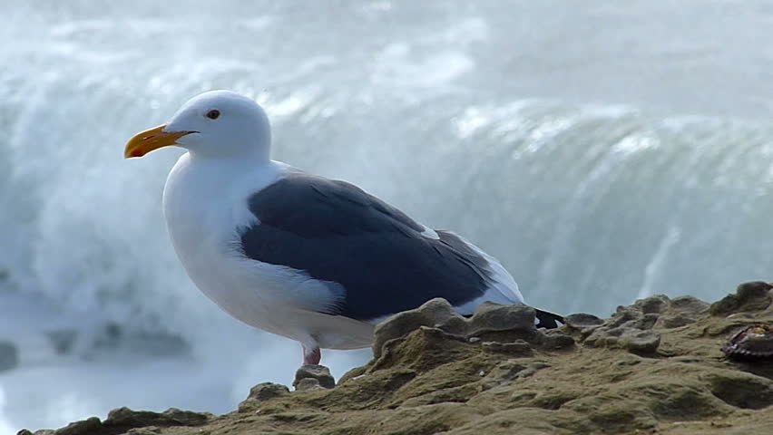 A seagull bird perched on a cliff above the Pacific Ocean.