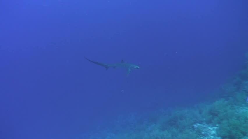 Header of Alopias pelagicus