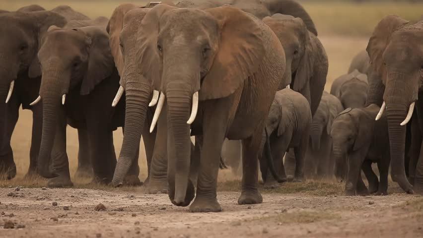baby elephant in their herd