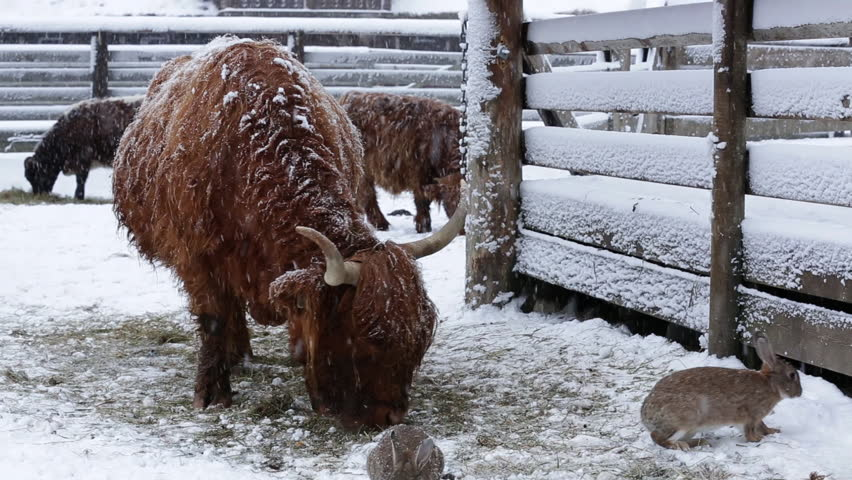 Highland Cattle In Winter Feeding On Grass In Snow Weather ... - photo#43