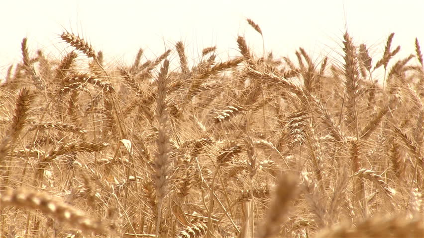 Wheat field. Golden wheat ready to be harvested