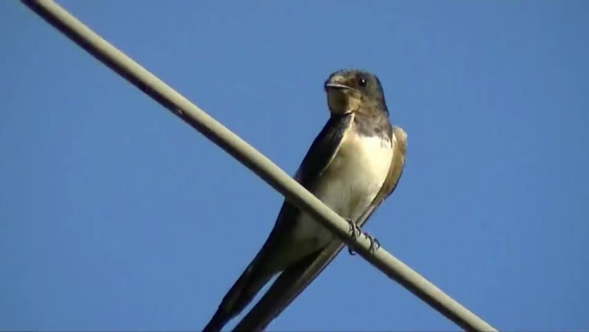 Small swallow perched on telephone line.