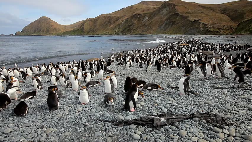 Royal Penguins on Macquarie Island - HD stock video clip