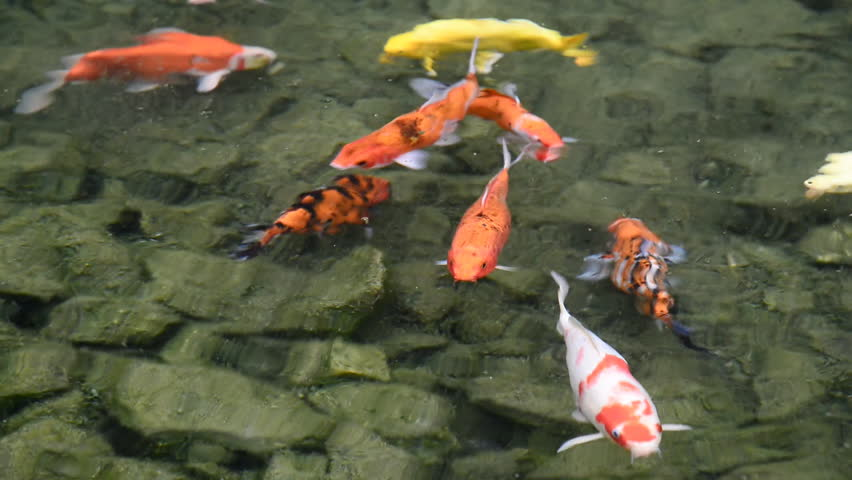 Many carp fishes in pond stock footage video 8443273 for Koi fish to pond ratio