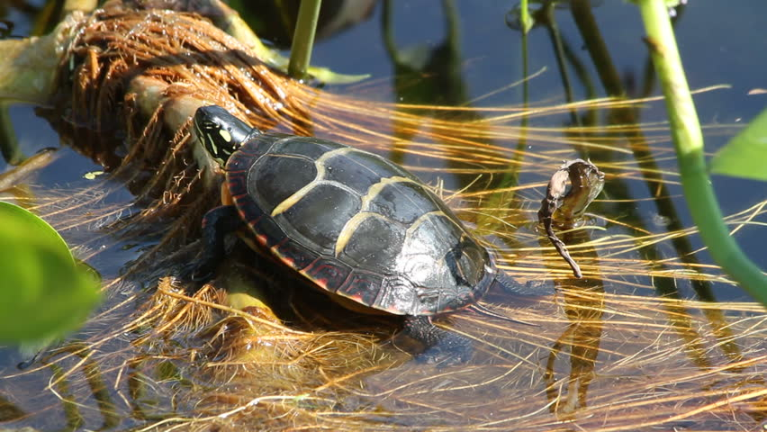 Painted box turtle sitting on reads and pond grass in fresh water. Windy, slight waves. Turtle moves his head
