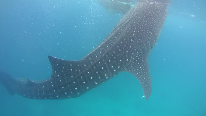 Whale shark (Rhincodon typus) eating krill below the water surface - Bohol Sea, Oslob, Cebu, Philippines, Southeast Asia
