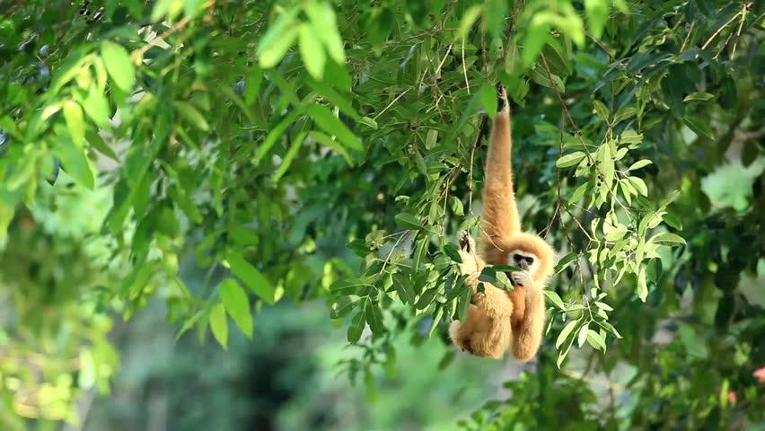 White-Handed Gibbon eating fruit in morning light