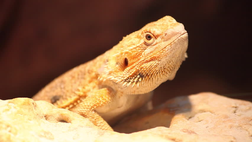 Bearded dragon, lizard, sand, curious reptile moves head, animal in captivity