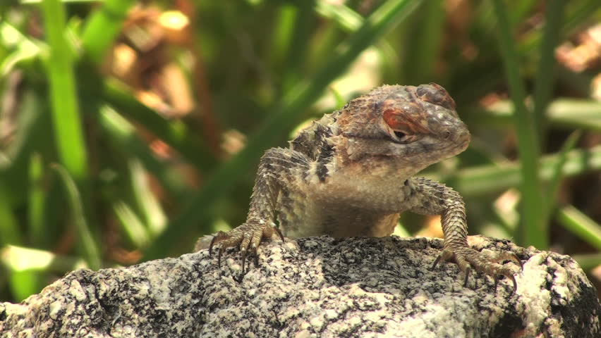 Spiny lizard tilts his head, eyes camera curiously and suspiciously. 1920x1080 - HD stock footage clip