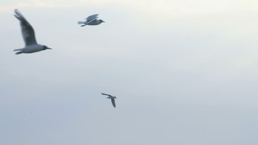 Seagulls flying midair over a blue sky using thermal currents over the ocean with copyspace