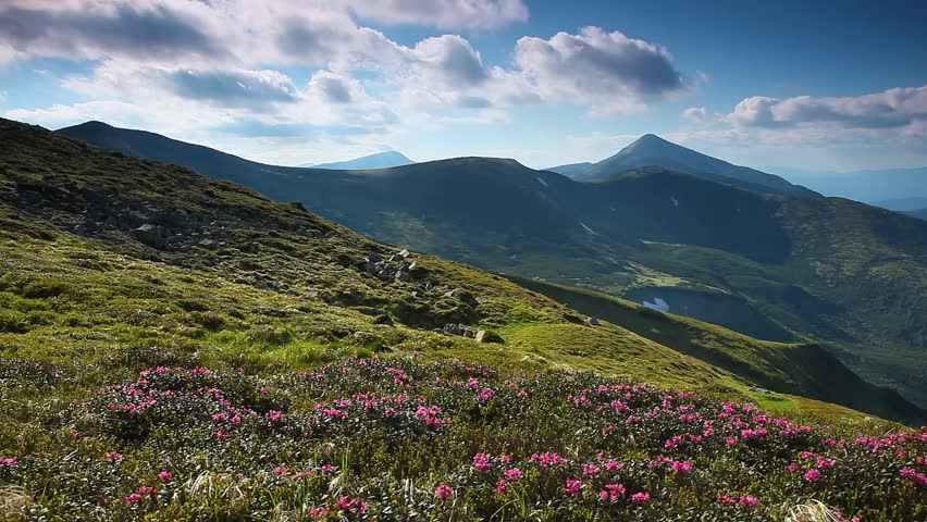 Magic pink rhododendron flowers on summer mountain. Carpathian, Ukraine, Europe. Beauty world. HD video (High Definition)